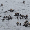 A raft of otters, near Sitka