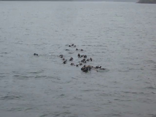 Sea Otters feeding