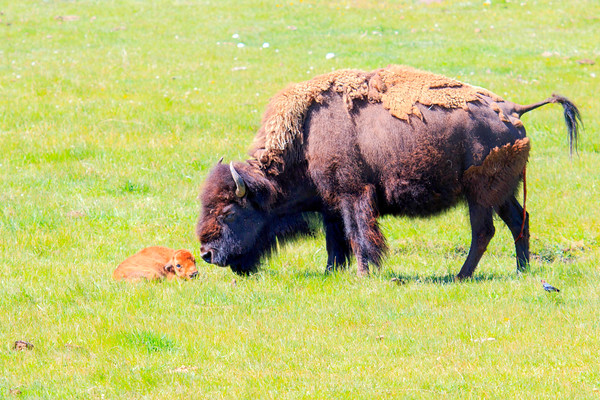 Bison and newborn calf