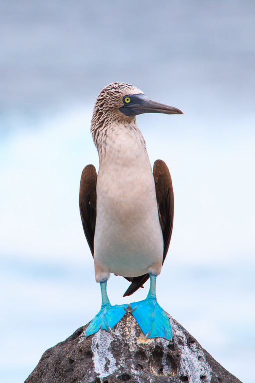 Blue-Footed Booby, North Seymour