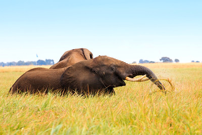 Elephants at lunch