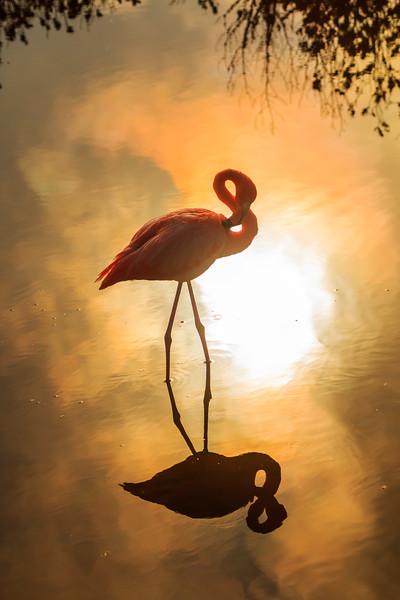 Greater flamingo, Isabela