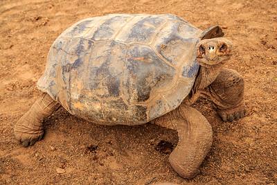 Giant Tortoise, Isabela