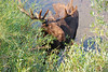 <b>Moose</b> are the largest of all the deer species. Males are immediately recognizable by their huge antlers, which can spread 6 feet (1.8 meters) from end to end. Moose have long faces and muzzles that dangle over their chins. A flap of skin known as a bell sways beneath each moose's throat. Moose are so tall that they prefer to browse higher grasses and shrubs because lowering their heads to ground level can be difficult. Males, called bulls, bellow loudly to attract mates each September and October. The usually solitary bulls may come together at this time to battle with their antlers for mating supremacy. After mating, the two sexes go their separate ways until the following year. Though they may occasionally feed in the same grounds, they tend to ignore each other.