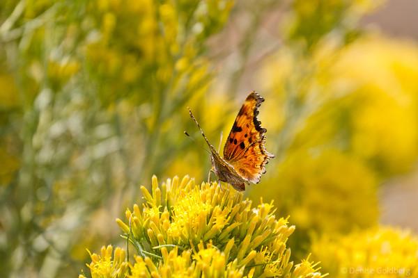 butterfly perched, National Elk Refuge