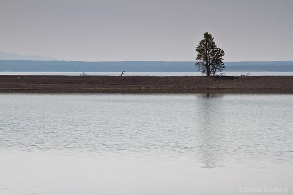a lone tree, Yellowstone Lake