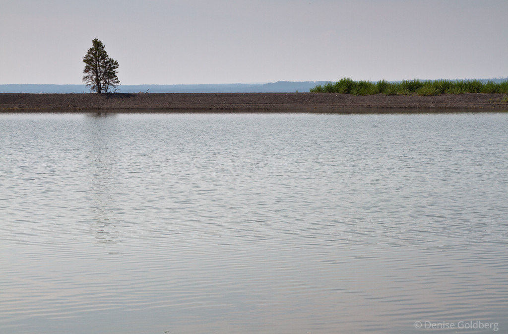 a lone tree, Yellowstone Lake
