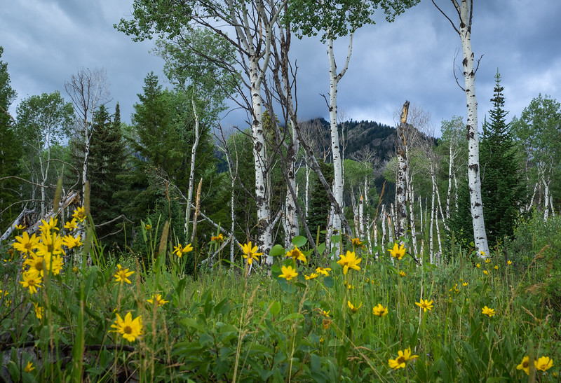 """A grove of aspen trees, surrounded by wild flowers. The leaves are said to """"quake"""" as they shimmer in the wind."""
