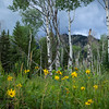 "A grove of aspen trees, surrounded by wild flowers. The leaves are said to ""quake"" as they shimmer in the wind."