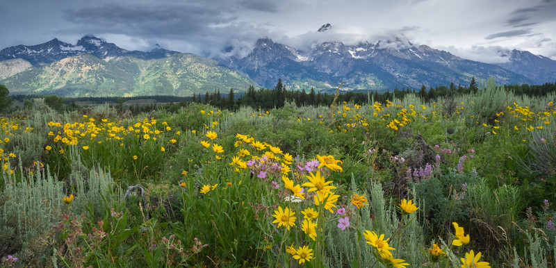 Locals say  they hadn't seen this meadow, in the shadow of the Tetons,  so full of flowers in 30 years.