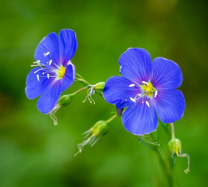 Hooded blue violet