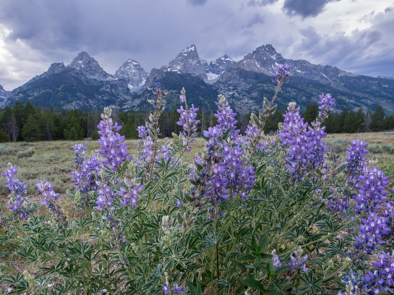 The prime crop in the meadow was sage brush, but there were many flowers, including lupine...