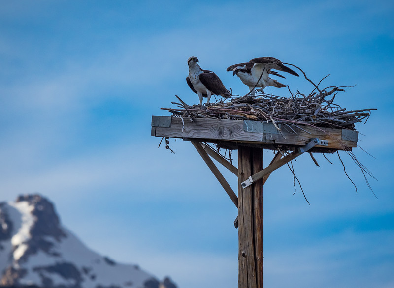 Osprey have their own special view of the Tetons.