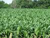 Iowa corn.