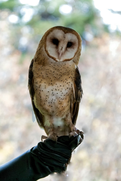 _MG_8100 barn owl