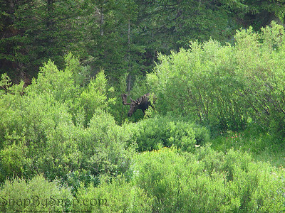 A moose peaking out from the underbrush in Bighorn National Forest in Wyoming.