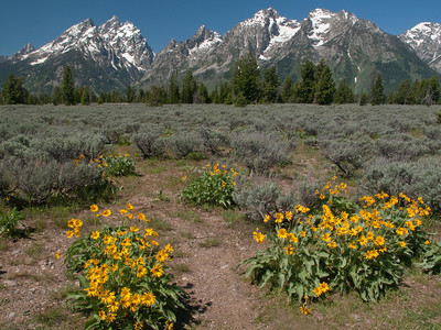 Yellowstone Vacation - Grand Teton National Park - Flowers and Grand Tetons