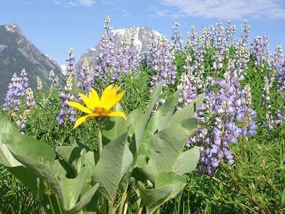 Yellowstone Vacation - Grand Teton National Park - Jackson Lake Area - Elk Island flowers