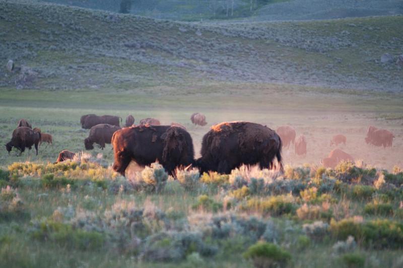 Yellowstone Vacation - Roosevelt Area - Buffalo in Lamar Valley