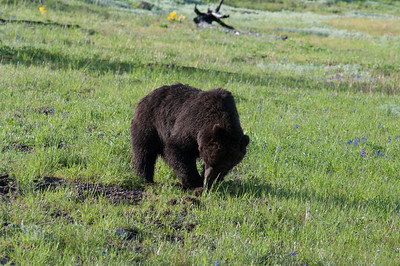 Yellowstone Vacation - Lake Yellowstone Area - Grizzley Bear