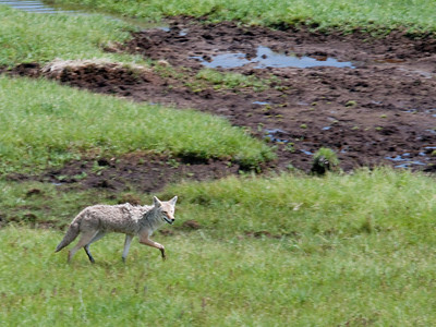 Yellowstone Vacation - Lake Yellowstone Area - Coyote