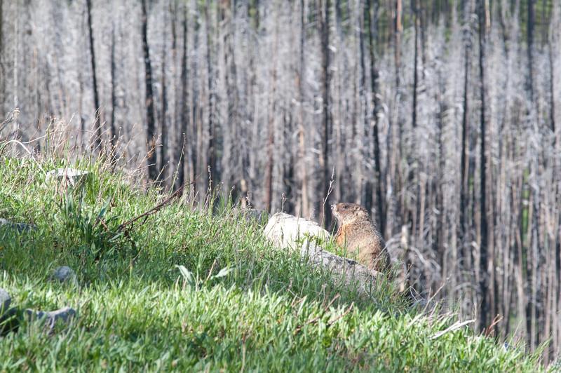 Yellowstone Vacation - Lake Yellowstone Area - Yellow Bellied Marmot