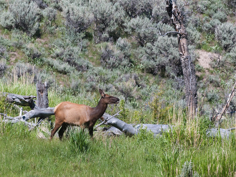 Yellowstone Vacation - Mammoth Springs Area - Elk