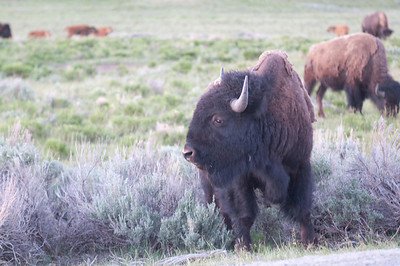 Yellowstone Vacation - Roosevelt Area - Buffalo in Lamar Valley