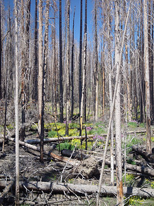 17 years after the Yellowstone wildfire, life is returning to the forest in Yellowstone National Park..