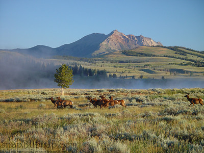 With Electric Peak in the background, a herd of elk walk through the early morning mist in Yellowstone National Park.