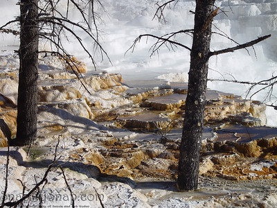Detail for some trees that have been overtaken by the never ending expansion of Mammoth Hot Springs in Yellowstone National Park.