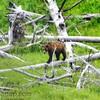Bear Walk