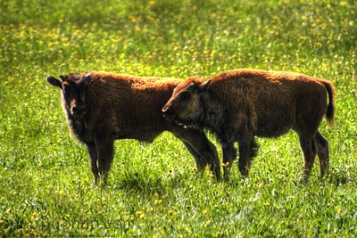 Bison Calves
