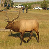 Sure Glad The Elk Turned His Course   - Yellowstone National Park  9-5-05