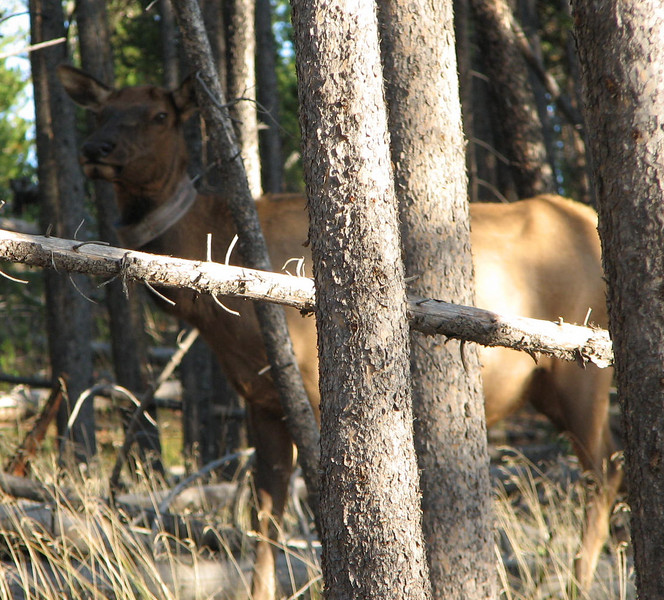 Peek-a-Boo Elk   - Yellowstone National Park  9-5-05