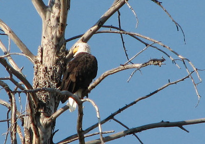 Our First Wildlife Sighting - Bald Eagle  - Yellowstone National Park  9-5-05
