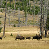 Bison Herd with Sandhill Cranes Leading  - Yellowstone National Park 9-6-05