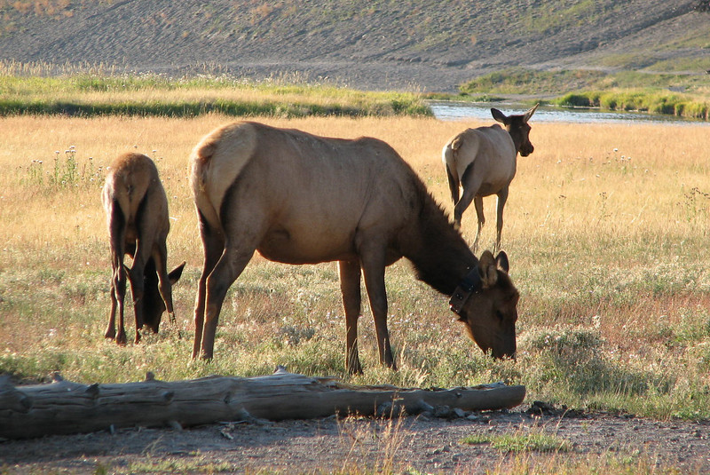 Elk on the Range   - Yellowstone National Park  9-5-05
