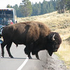 These Bison Are As Big As Cars   - Yellowstone National Park  9-5-05