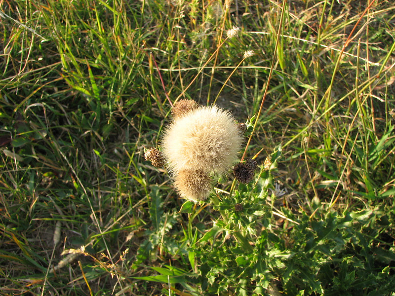 Seed Head of Some Flower in Meadow   - Yellowstone National Park  9-5-05