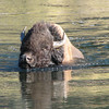 Bison - Getting a Little Deep  - Yellowstone National Park  9-5-05