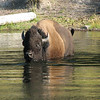 Bison Crossing the River Towards Us  - Yellowstone National Park  9-5-05