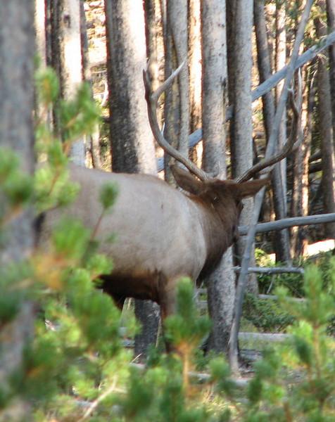 Elk Bull Nearby   - Yellowstone National Park  9-5-05