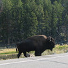 Why Does the Bison Cross the Road  - Yellowstone National Park  9-5-05