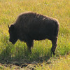 Young Bison  - Yellowstone National Park  9-5-05
