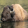 Bison - These Guys Are Really Big  - Yellowstone National Park  9-5-05