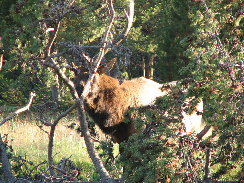 Elk Bull Rubbing Antlers on a Tree   - Yellowstone National Park  9-5-05