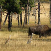 Sandhill Cranes and Bison  - Yellowstone National Park 9-6-05