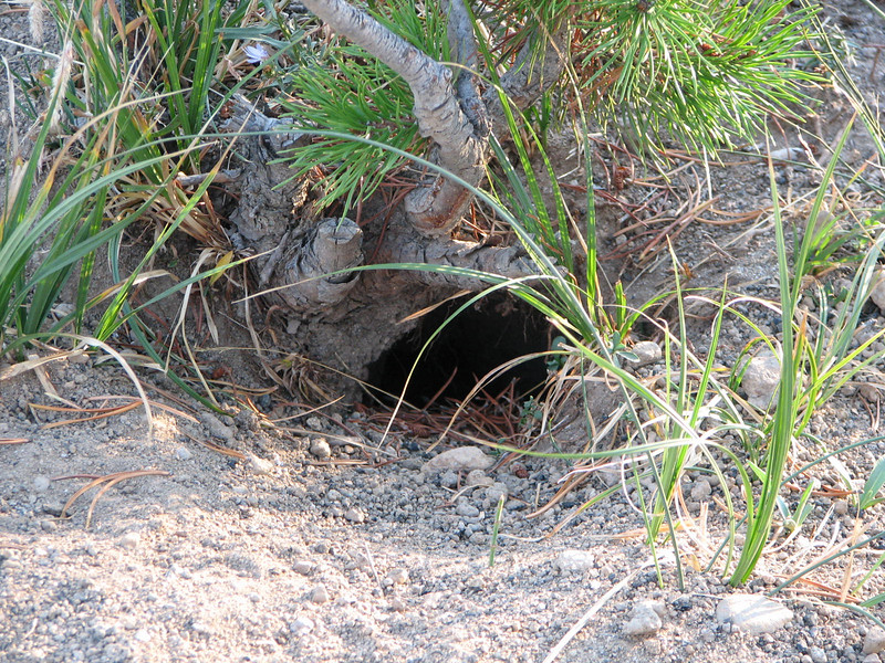 Somebody's Home in the Ground   - Yellowstone National Park  9-5-05