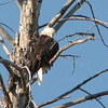 Looking Pretty - Bald Eagle  - Yellowstone National Park  9-5-05